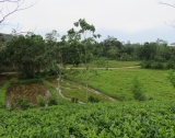 WI 70 - 5 Acres Tea Estate Overlooking Paddy